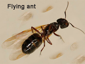 Flying_ant