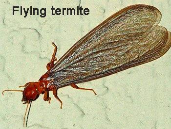 Flying termite