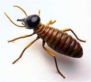 Formosan_termites