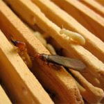 Drywood termites in the house: general notion