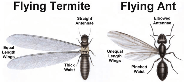 flying ant vs termite
