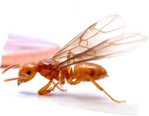 flying_termites