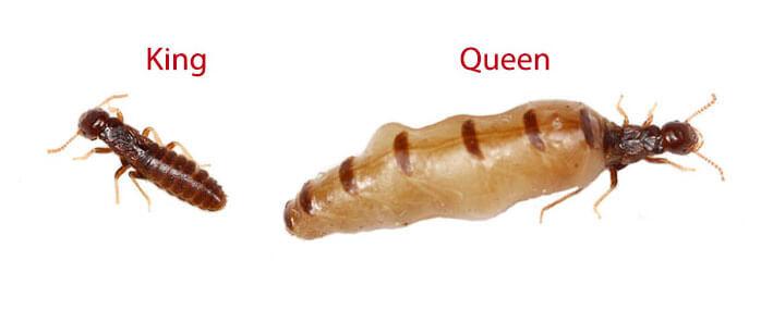 king termite