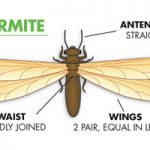 How to get rid of termite swarmers (Define Guide)