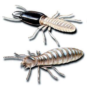 termite-pictures