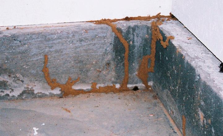 termite mud tubes pictures