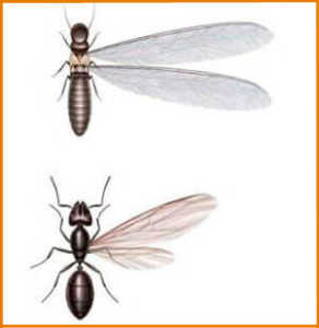 What Is The Difference Between Flying Termites And Flying Ants