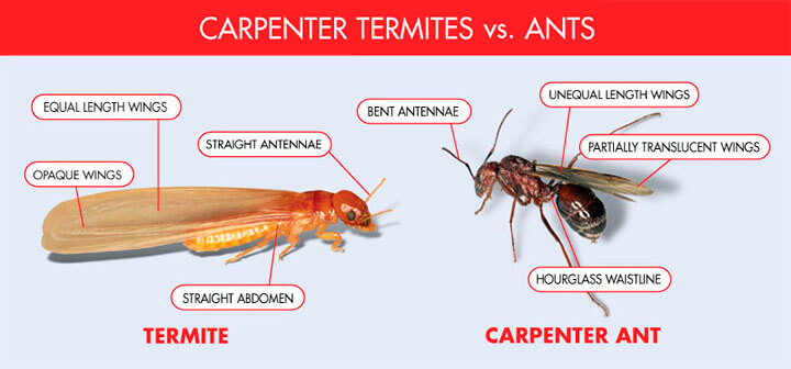 flying ants or termites