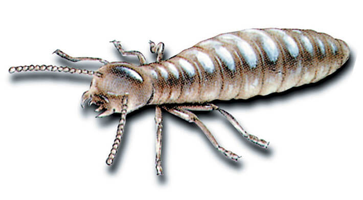 worker_termite